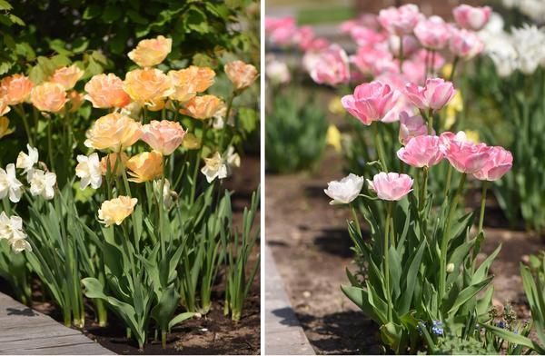 Махровые сорта: слева - т. поздний Apricot Angelique, справа - т. поздний Angelique