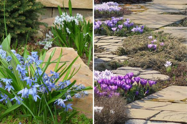 Пролеска колокольчатая Blue и пушкиния ливанская (слева); крупноцветковые крокусы (справа).