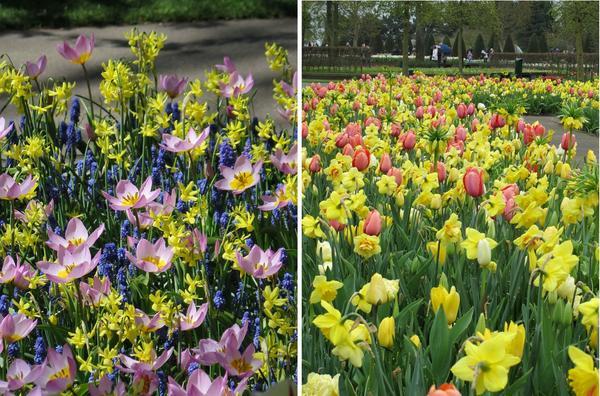 Нарциссы и тюльпаны - идеальные компаньоны. Слева - композиция в природном стиле, справа - махровый нарцисс Texas в миксбордере из луковичных