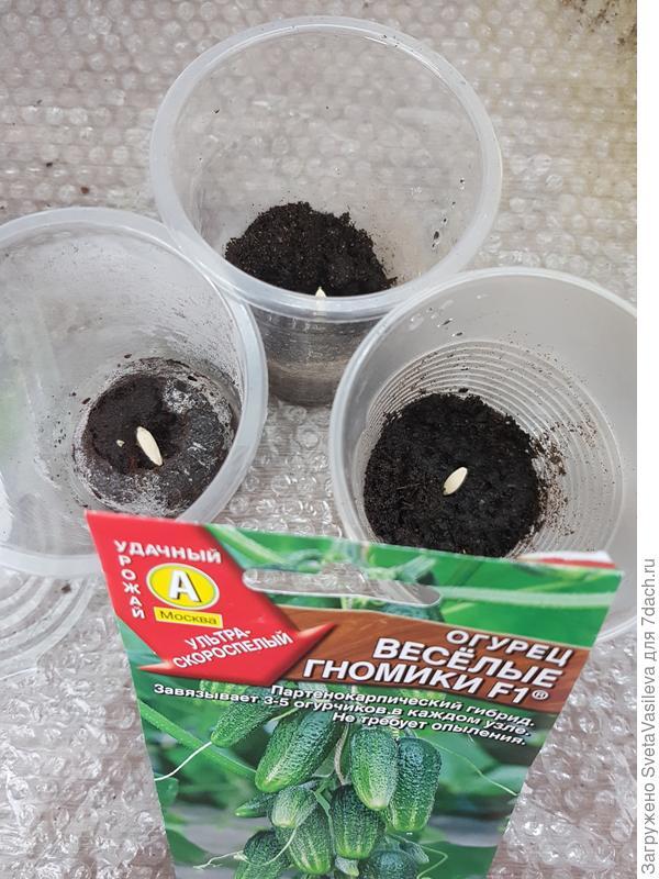 Посев в грунт 2шт и 1шт в торфтаблетку