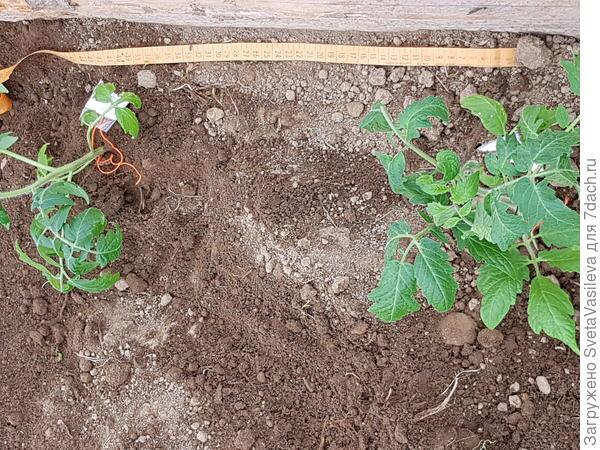 Растояние между томатами ( 40 см)