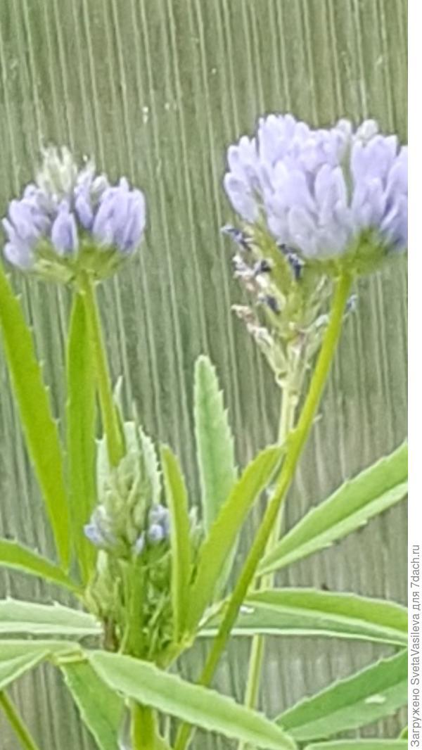 Цветение пажитнтка голубого