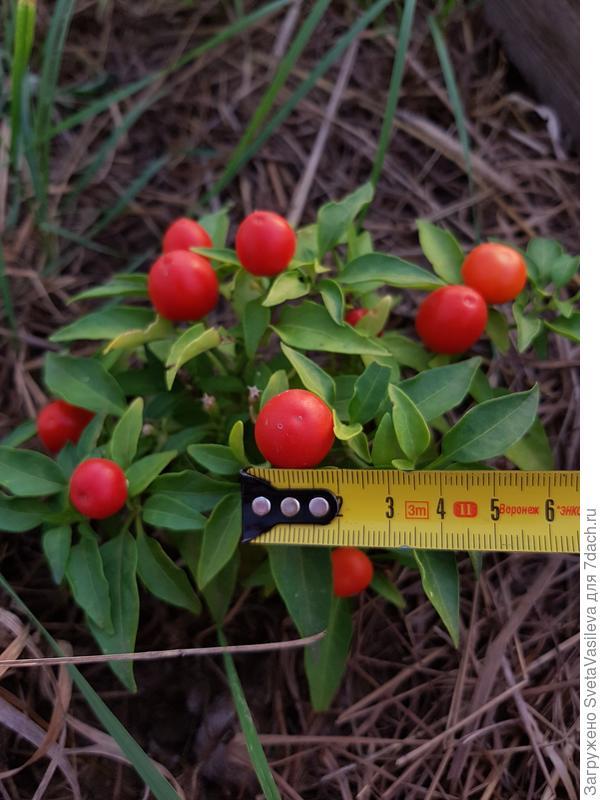Размер в сантиметрах плодов