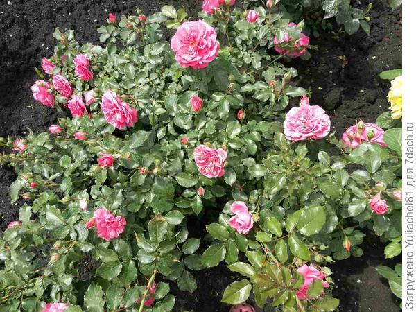 роза. начало цветения