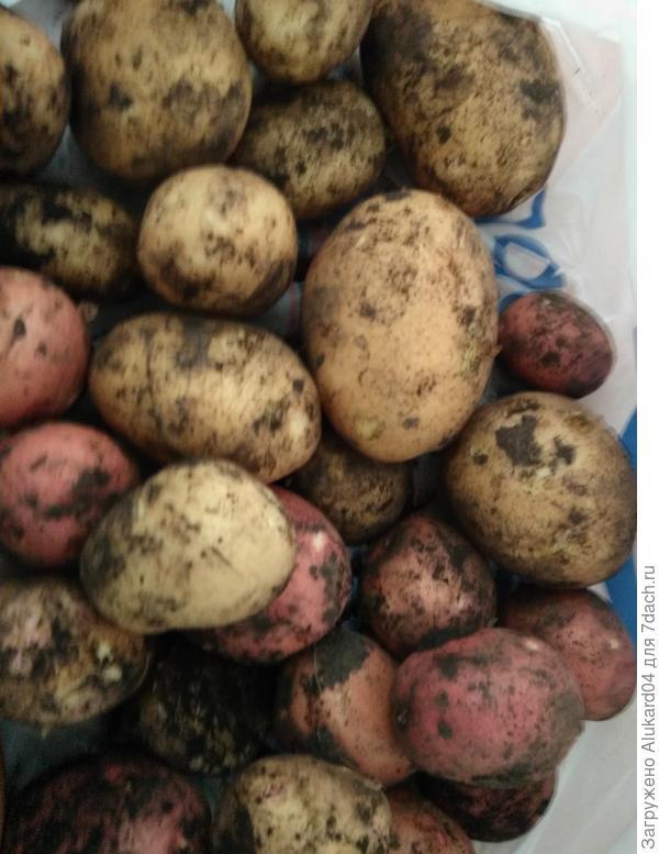"""Картофель сорта """"беллароза"""" и """"венета"""". Сажала в 2017 году первый раз оба сорта, урожаем довольна"""