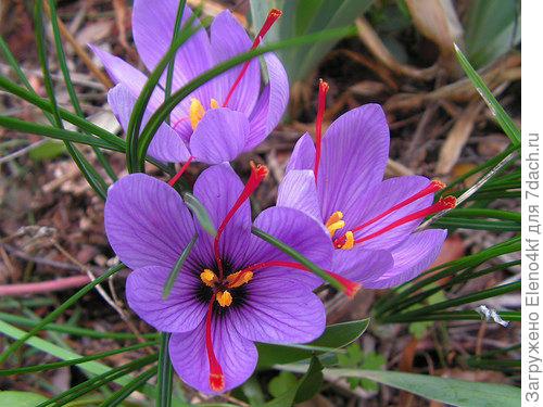 Salivus (фото инет)