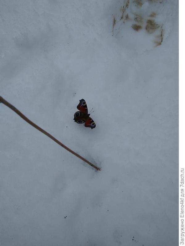 Бабочка проснулась, пришлось в теплицу занести.
