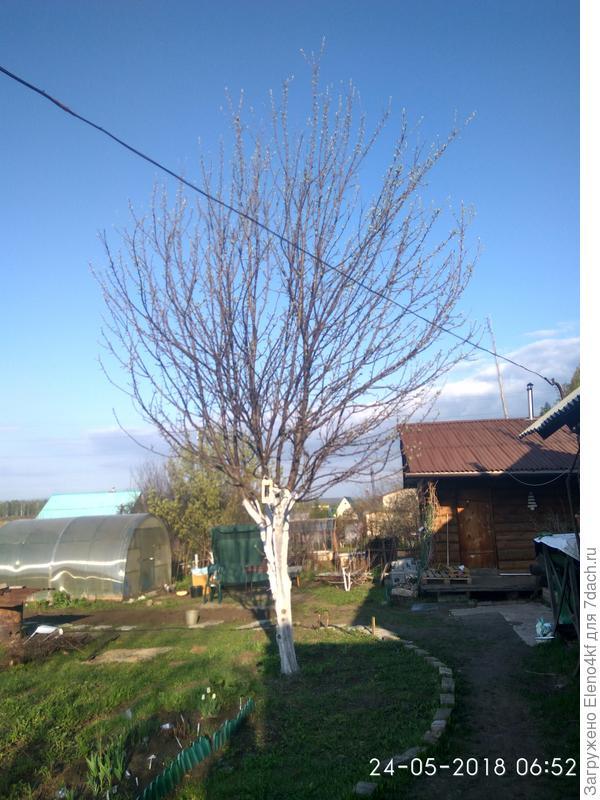 На старой яблони ветки были очень низко и во время налива яблок практически лежали на земле.