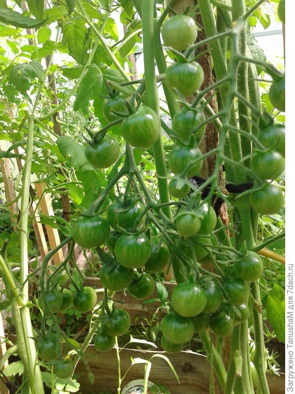 Созревание тоже дружное...мой минус,а может и плюс не формировала куст. Но урожай очень обильный.Куст высотой под два метра снизу до верху усыпан плодами.