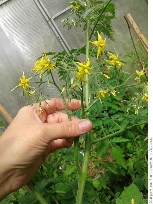 Стоит отметить что цветочки томатики не сбрасывает и все завязались и вызрели
