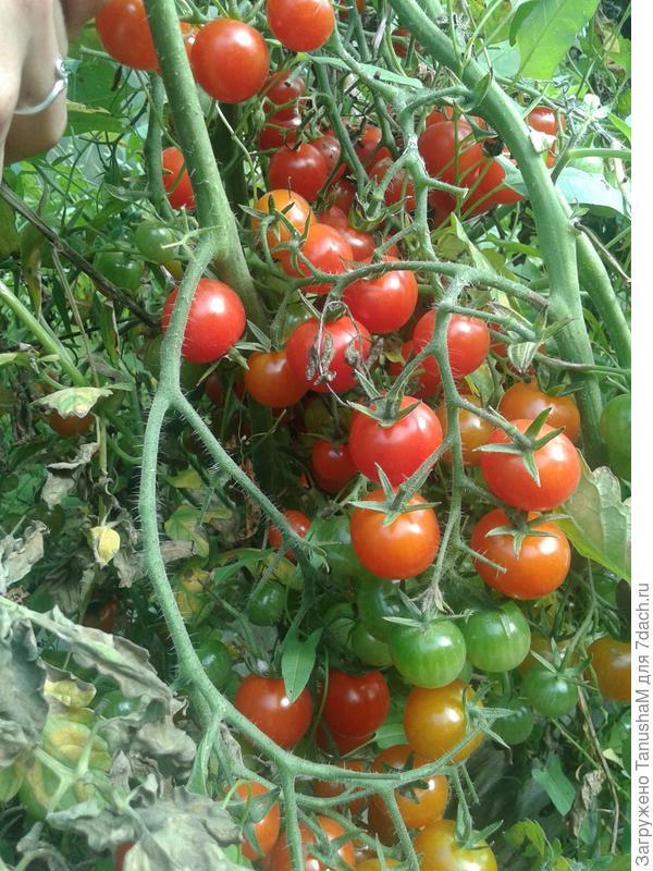 Вот такие ягодки -томатики.