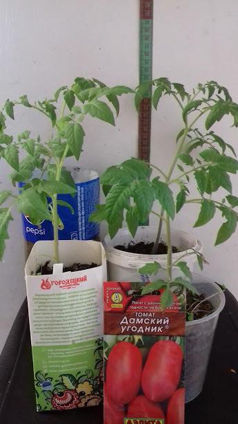 27 апреля томаты еще раз были перевалены в больший обьем