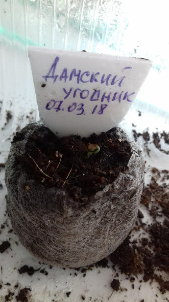 на  7-ой день от посева взошел томатик и в торфотаблетке