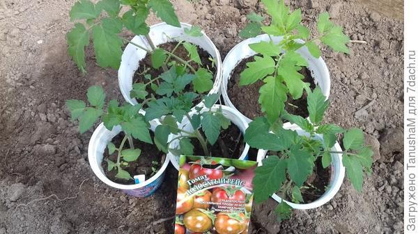 томаты перед высадкойв теплицу