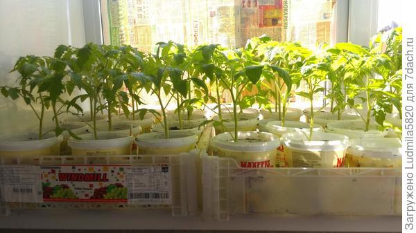 Рассада томатов после 2- рой пикировки