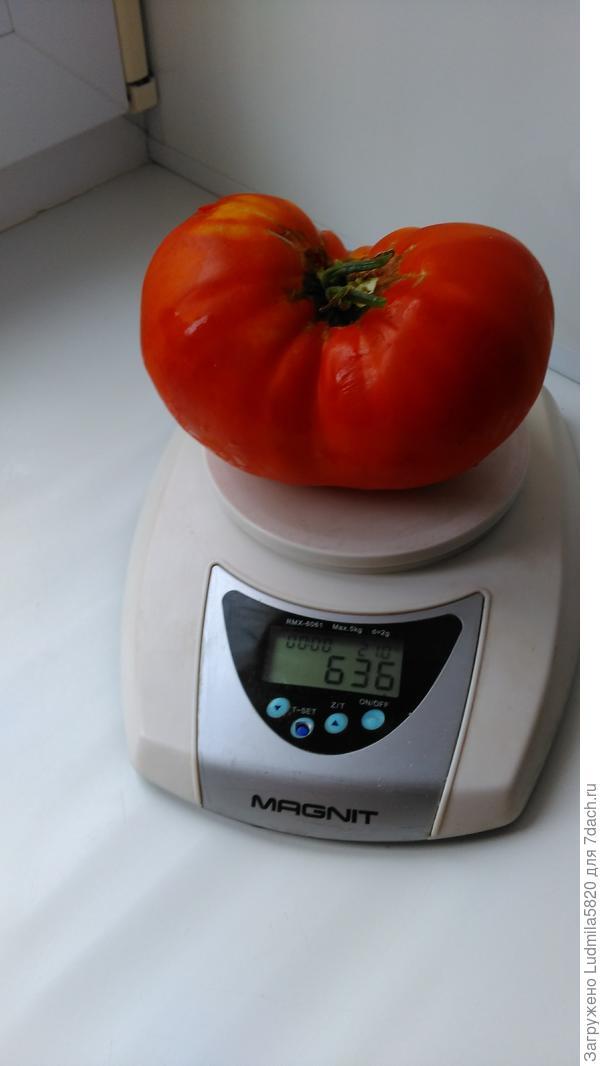 Средний вес этого сорта томатов.