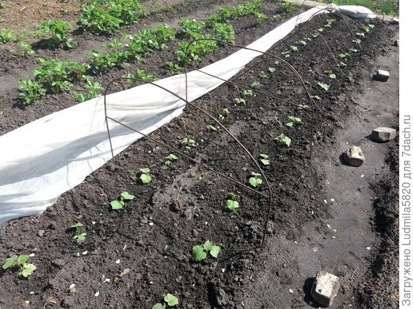 Огурцы проращиваю дома до 3-4 х листьев и высаживаю на теплую грядку под укрывной материал