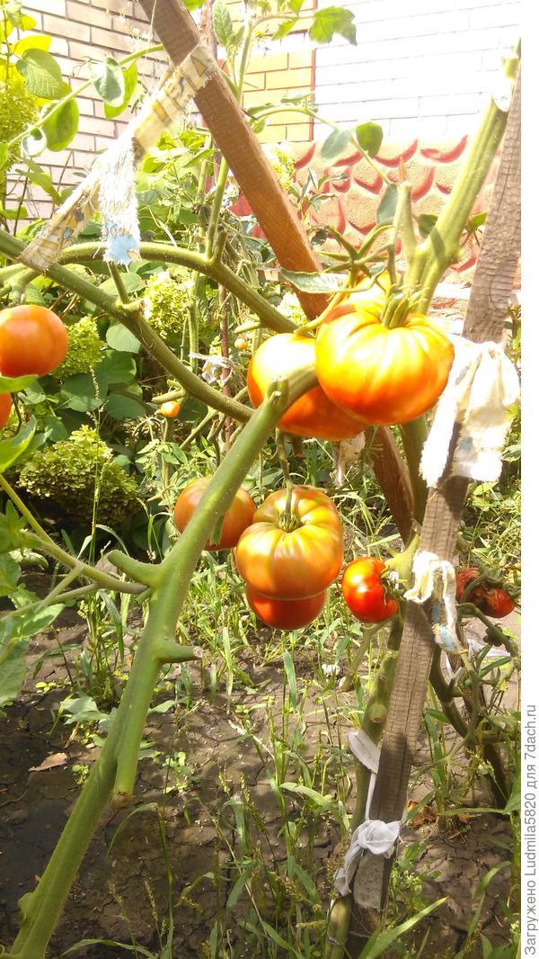 Вот такие томатики вызревают у этого сорта