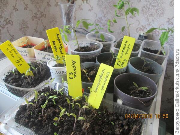 вот что происходит с моей рассадой. Семена посеянные 8 марта взошли 11-13 марта, и сегодня 4 апреля, остаются в таком состоянии.