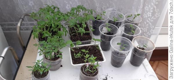Два способа посев томатов.