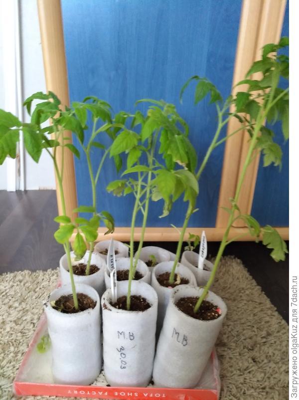 6 шт. томатов Малиновый великан расположены в 1 и 2 рядах