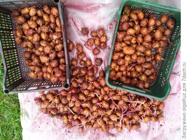 Обработанный картофель
