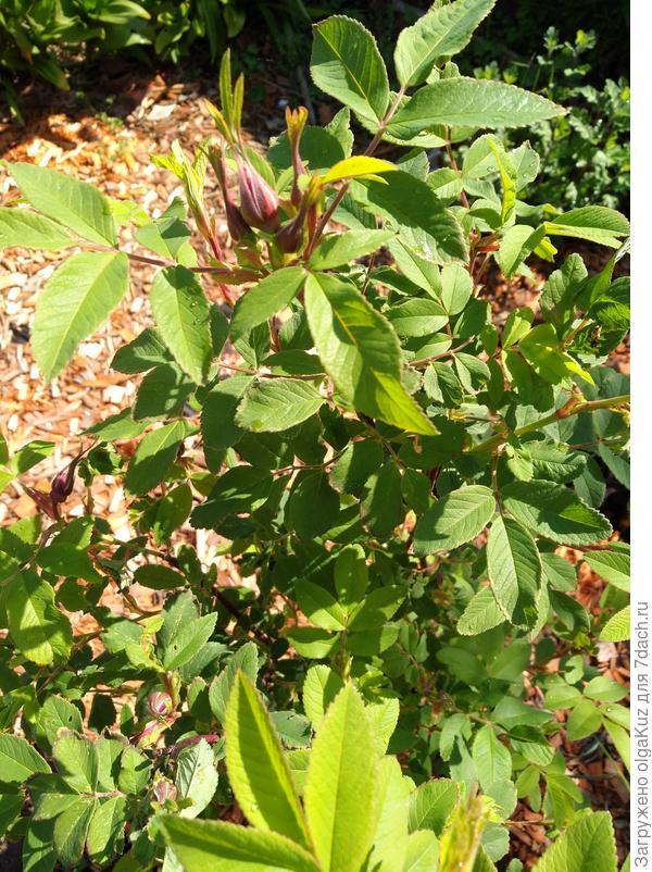 Куст розы Пинк через неделю после обработки