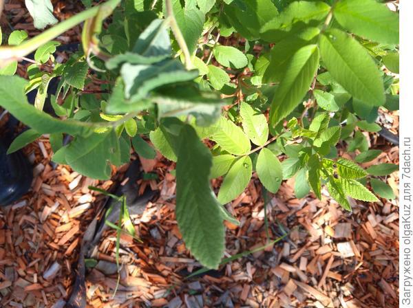 Поврежденные листы (через неделю после обработки)