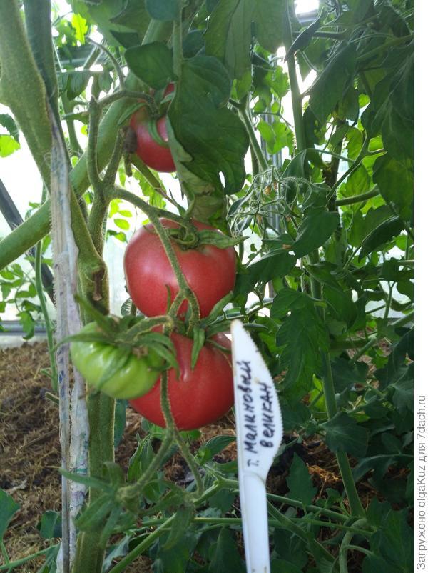 томат малиновый гигант отзывы фото всю жизнь