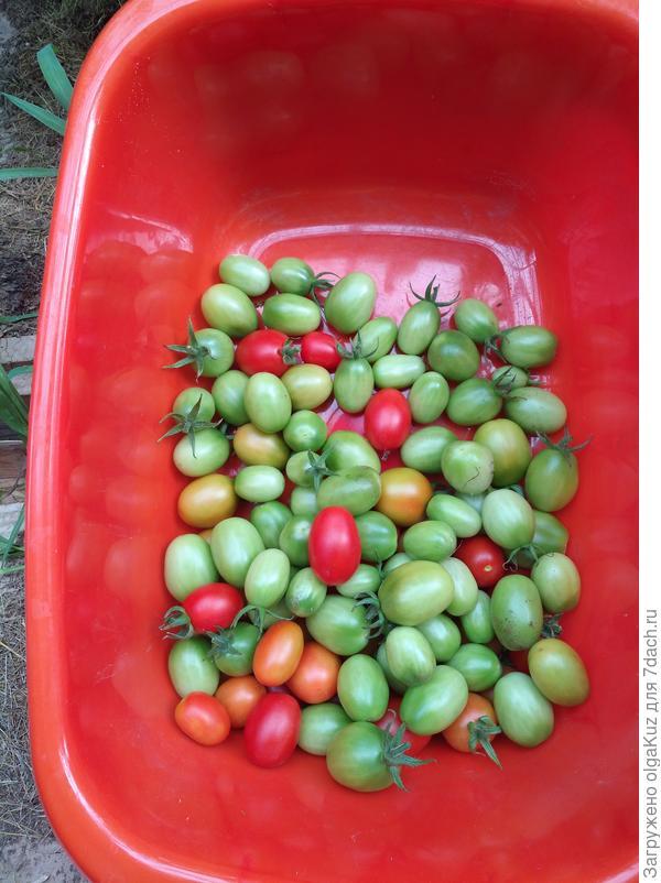 Урожай томата Дамский угодник 18 августа