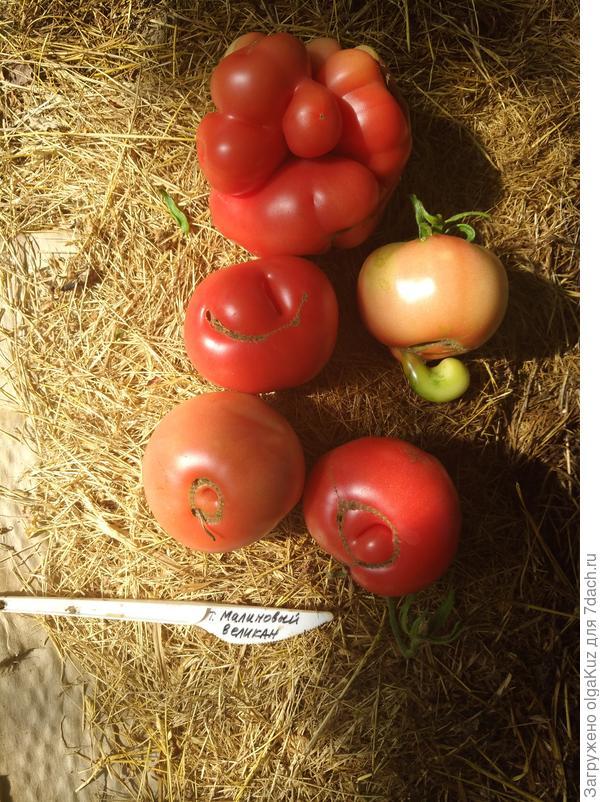Первый урожай томата Малиновый великан