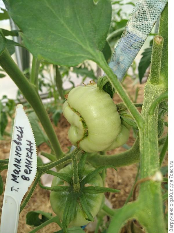 Первые плоды 1 июля.