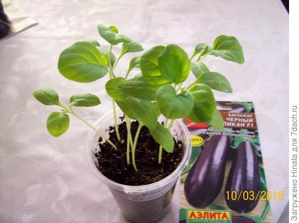 Растениям 12 дней после появления всходов. Пластиковый стаканчик.