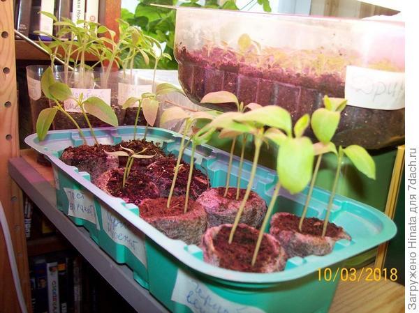 Растения в торфяных таблетках на 10 марта. Стеллаж. Светодиодные лампы.