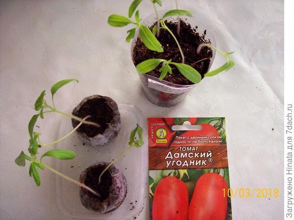 Саженцы томата в стаканчике и таблетках. 10 марта.