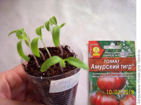Первый настоящий листочек на сеянцах 10 марта. Растениям 12 дней от появления петелек.