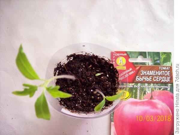 Томат «Знаменитое бычье сердце» - разное развитие растений.