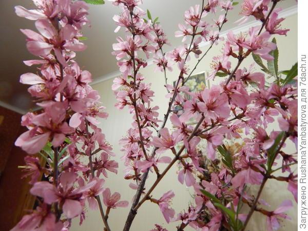 Розовое облако бобовника.