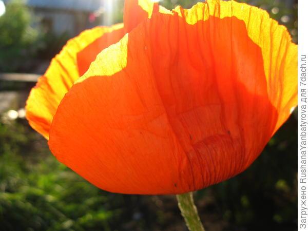 Заря и солнышко в одном цветке.