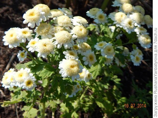 Очаровательный цветок с любимым запахом полыни - хризантема.