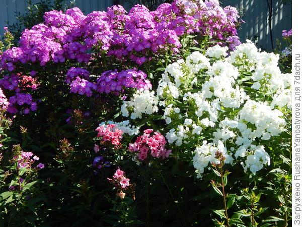 Флоксы: буйство цвета и аромата!