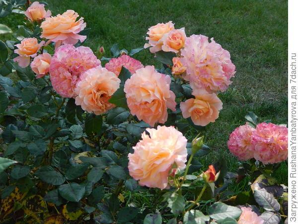Парковые розы.