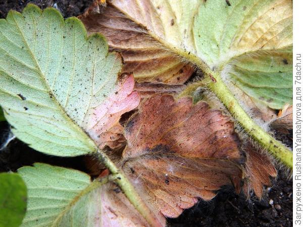 Почему отмирают нижние листья клубники?