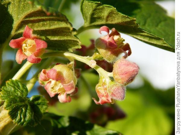Алтайская цветет!