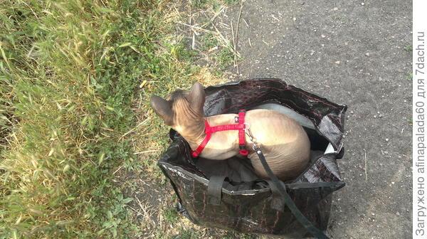 Барсуша прекрасно ходит на поводке.На дачу ездит в сумке.