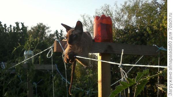 На даче.Любит забираться на опору для подвязки томатов и наблюдать.