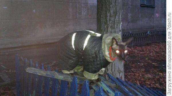 Зимой гуляет во дворе на поводке.Настаивает на прогулках.