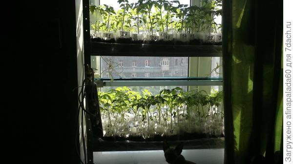 Рассада томатов на окне