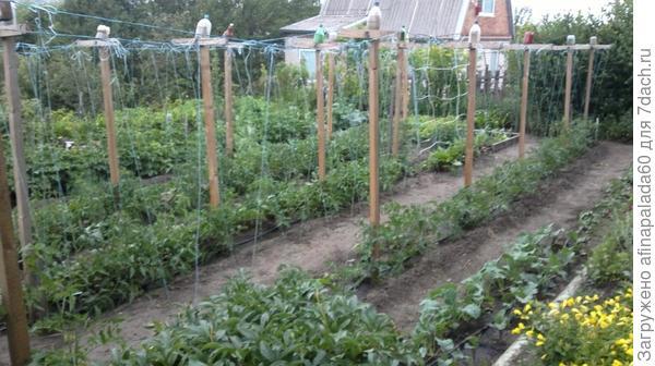 Конец мая,поставили опоры и подвязали томаты.Каждое растение подвязывания двумя шнурами к разным направляющим
