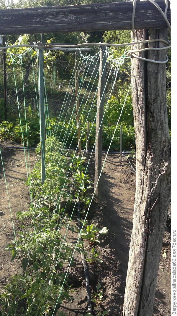 Подробности подвязки томатов на перголе из подручных материалов.